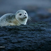 seal-pup