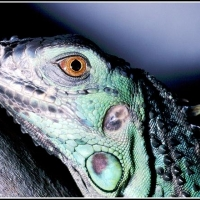 green_iguana1