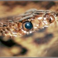 pine_snake1