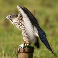 falcon_day_2003_2