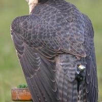 falcon_day_2003_3