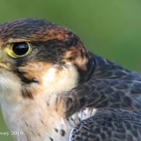 falcon_day_2003_4