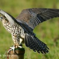 falcon_day_2003_5