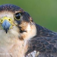 falcon_day_2003_7