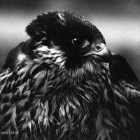 falcon_day_2003_8