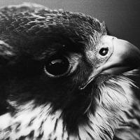 falcon_day_2003_9