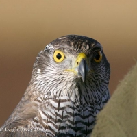 goshawk-day_17