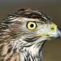 goshawk-day_18