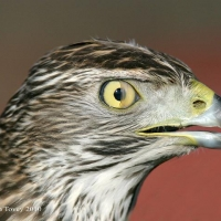goshawk-day_19