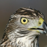 goshawk-day_8