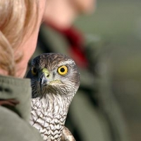 goshawk-day_9