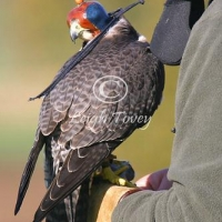 falcon_2004_15