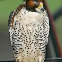 falcon_day_-_2005_11