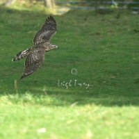 goshawk___red-tail_day_2005_5