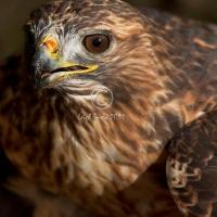 ferru-tail_hawk