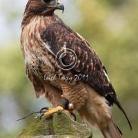 ferru-tail_hawk_-_2