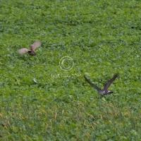 goshawk_chasing_pheasant_-_1