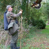 harris_hawk_flying_to_fist