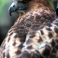 redtail_hawk