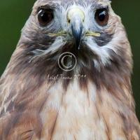 redtail_hawk_-_2