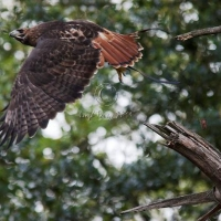 redtail_hawk_in_flight
