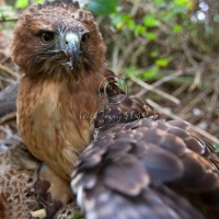 redtail_on_hen_pheasant